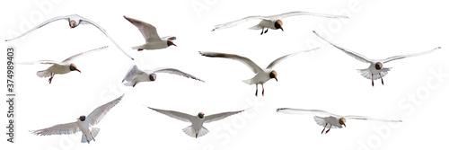 isolated ten gulls with black head in flight Fotobehang