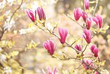 Spring Magnolia Flowers