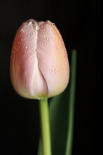Tulip On A Black Background