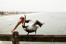 Oceanside Pelican