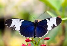 Sapho Longwing Butterfly Macro On Flowers