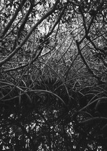 Mangroves Roots In Black And W...