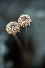 Extreme Close-up Of Two Dried Gray Santolina Flowers (Santolina Chamaecyparissus) On The Bush