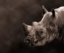 Endangered Black Rhinoceros Cl...