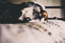 Blue Eyed Dog, Staring Out On Bed