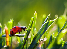 Ladybug In The Dew Covered Sunlit Grass