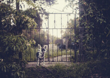 Small Black And White Terrier Guards An Old Gate