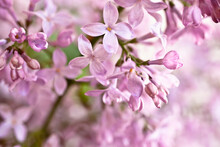 Lilac Background