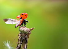 Ladybug Takeoff From Atop A Dandelion