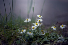 White Daisies Spring From The ...