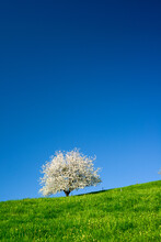 Blossoming Tree In Spring On G...