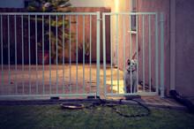 A Lonesome Boxer Dog Stares Ou...
