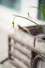 Snowdrops In Wooden Vase On Window Sill In Garden