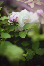 Pale Pink Rosebud Amongst Flowers And Leaves On The Bush