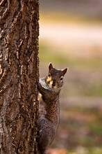 Curious Gray Squirrel Looks Ou...