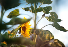 Bright Orange Sunflower With Small Sparrow Against A Blue Summer Sky