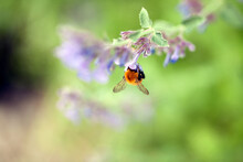 Bumblebee Pollinating Echium F...