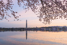 Washington Monument Framed By Cherry Blossoms