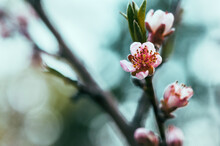 Peach Blossoms On A Branch With Blurred Background