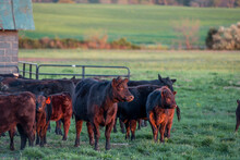 A Young Herd Of Black Angus Cattle On A Virgina Farm