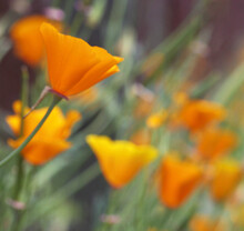 A Field With Several Orange California Poppys.