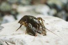 River Crayfish On A Rock