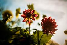 Chrysanthemum Flowers Before Sunset