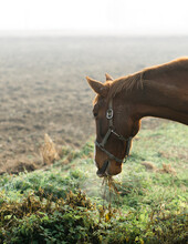 Side View Of Horse Grazing Wild Grass In Wintry Morning. Cloud Of Horse' Breath Is Visible.