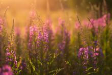 Willow-herb Purple Flowers In ...