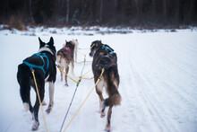 Dog Sledding In Alaska With Co...