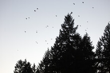 Silhouette Of A Group Of Birds Against The Sky And Trees