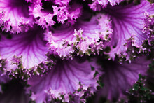 Frilly Purple Kale Leaves, Sid...