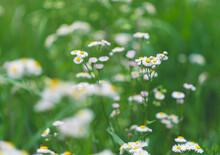 Wild Flowers In A Summer Field