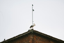 Stork And Crows On Top Of Anci...