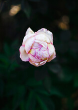 Dramatic Shot Of Pale Pink Rosebud In The Shadow