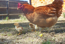 Mother Hen With Baby Chicken On The Grass