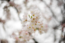 White Flowering Tree In Early Spring