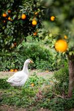 Duck In An Orange Grove