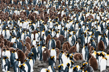 King Penguins On South Georgia...