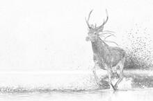 Deer Buck (Cervus Elaphus) Ske...