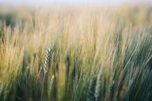 Prarie Farm Wheat Field At Sun...