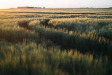 Prarie Farm Wheat Field At Sun...