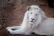 African White Lion, Rare And E...