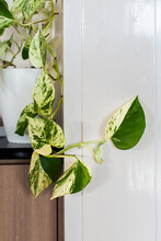 Variegated Philodendron