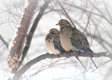Doves In The Snow