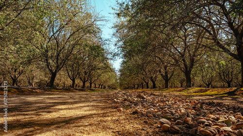 Foto almond trees during harvest