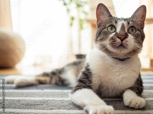 Carta da parati リビングルームの床でくつろぐ猫