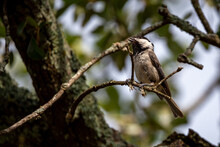 Carolina Chickadee In A Tree