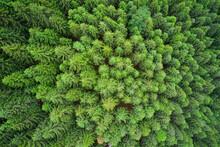 Dense Pine Forest. Plantation ...