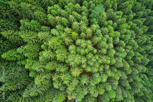Fotografia Dense pine forest